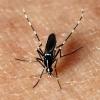 een Aziatische tijgermug of Aedes albopictus