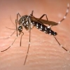 de Aziatische tijgermug of  Aedes albopictus